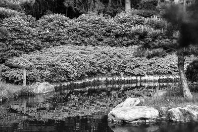 Azaleen am Teich mit Spiegelung
